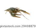 Live crayfish isolated on white background. 29408879