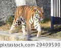 시베리아 호랑이 29409590