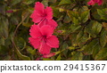 Hibiscus rosa-sinensis among leaves 29415367