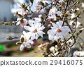 星玉兰 花朵 花卉 29416075