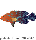 Coral Cod 29420025