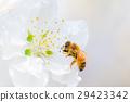 蜜蜂 正在开花的桃树 花朵 29423342