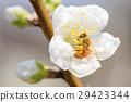 蜜蜂 正在开花的桃树 花朵 29423344