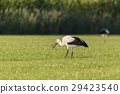 White Storks in a newly mowed meadow. 29423540