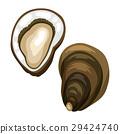 Fresh opened oyster. Isolated illustration of 29424740