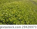 차잎, 새싹, 차밭 29426973
