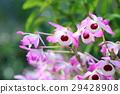 petal, petals, flower 29428908
