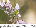 카와 벚꽃과 동박새 29430258
