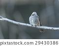 棕色耳鵯 鳥兒 鳥 29430386