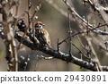 麻雀 小鳥 鳥兒 29430891