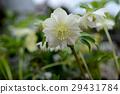 꽃잎, 크리스마스 로즈, 크리스마스로즈 29431784