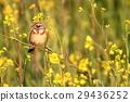 นก,ดอกไม้,ฤดูใบไม้ผลิ 29436252