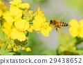 蜜蜂 油菜花 油菜 29438652