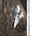 White animal skull 29443038