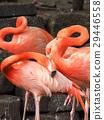 flamingo, flamingoes, flamingos 29446558
