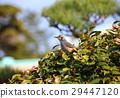 棕色耳鵯 山茶花 日本山茶 29447120