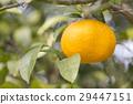 Summertime orange 29447151