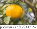Summertime orange 29447157