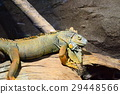 iguana, green, reptile 29448566