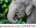大象 動物 亞洲象 29448780