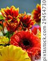 gerbera, gerberas, bloom 29454730