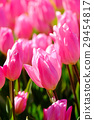 꽃, 플라워, 튤립 29454817