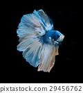 blue betta 29456762