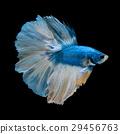blue betta 29456763