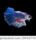 Blue betta fish 29456770