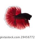 Red betta fish 29456772
