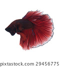 Red betta fish 29456775