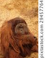 動物 猭 猩猩 29457764