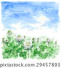 clover, white clover, blue sky 29457893