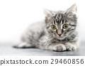 宠物 猫 猫咪 29460856