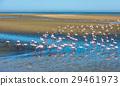 Flock of flamingos at Walvis Bay, Namibia 29461973