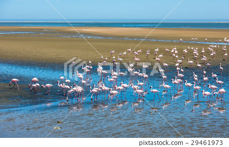 Flock of flamingos at Walvis Bay, Namibia 29461973