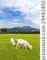 Goats eating grass near Aso mountain in Kumamoto 29462802