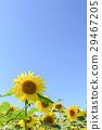 해바라기와 푸른 하늘 (하늘 배경) 29467205