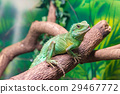 Chinese Water Dragon (Physignathus cocincinus) 29467772