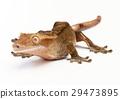 오우 강 미카도 도마뱀 29473895