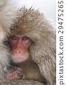 원숭이, 일본 원숭이, 영장류 29475265