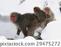 부모와 자식, 일본 원숭이, 원숭이 29475272