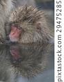 원숭이, 일본 원숭이, 몽키 29475285