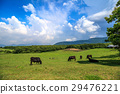 cow, cattle, cows 29476221