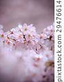 cherry, blossom, tree 29476614