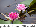 water, lily, water-lily 29476664