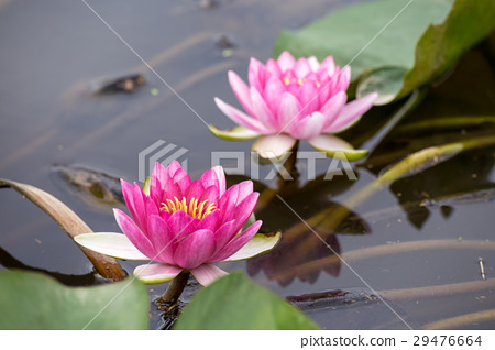 water lily, water-lily, waterlily 29476664