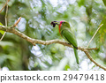 Red-bearded Bee-eater 29479418