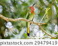 Red-bearded Bee-eater 29479419