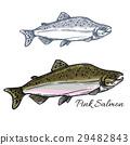fish, salmon, sketch 29482843